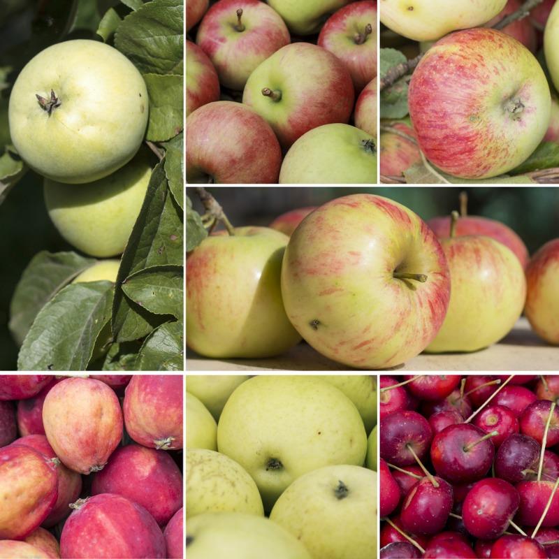 best-apple-varieties1